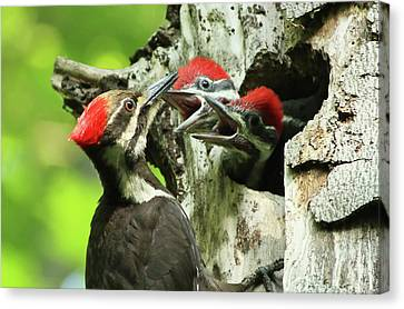 Pileated Woodpecker Canvas Print - Female Pileated Woodpecker At Nest by Mircea Costina Photography