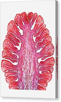 Female Pine Cone Canvas Print