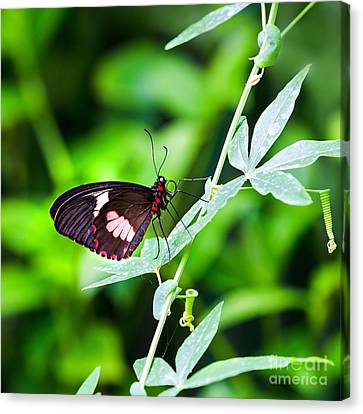 Passion Fruit Canvas Print - Female Pink Cattleheart Butterfly by Jane Rix