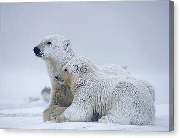 Female Polar Bear Resting With Her Two Canvas Print