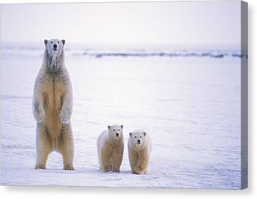 Female Polar Bear Standing With Her Two Canvas Print