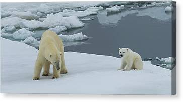 Female Polar Bear Ursus Maritimus Canvas Print by Panoramic Images