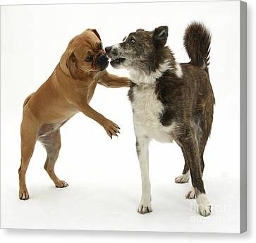 Female Puggle And Mongrel Dog Canvas Print by Mark Taylor