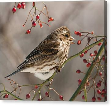 Canvas Print featuring the photograph Female Purple Finch On Berries by Lara Ellis