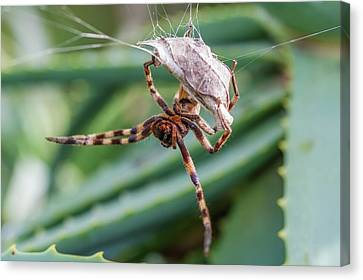 Female Rain Spider Guarding Her Nest Canvas Print by Peter Chadwick