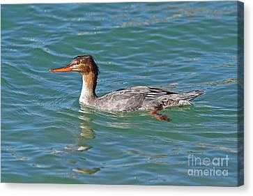 Female Red-breasted Merganser Canvas Print by Jennifer Zelik