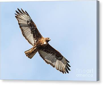 Female Red-tailed Hawk Canvas Print by Carl Jackson