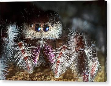 Female Regal Jumping Spider Canvas Print by Alex Hyde