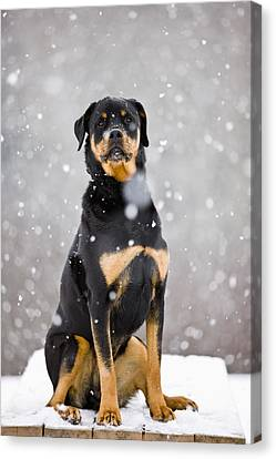 Female Rottweiler Sitting On Top Of A Canvas Print by Jim Craigmyle