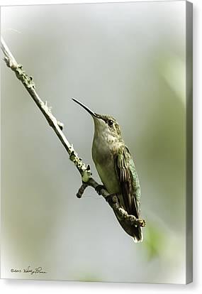 Female Ruby-throated Hummingbird 1 Canvas Print