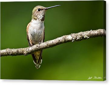 Female Rufous Hummingbird In A Tree Canvas Print by Jeff Goulden