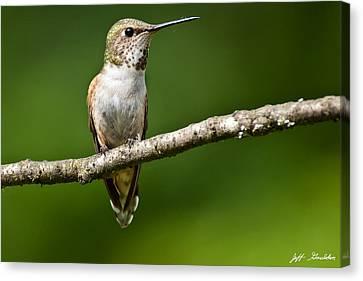 Female Rufous Hummingbird In A Tree Canvas Print
