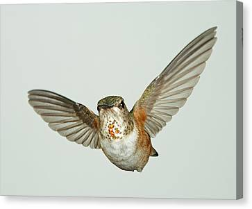 Female Rufous Hummingbird With Sequins Canvas Print by Gregory Scott