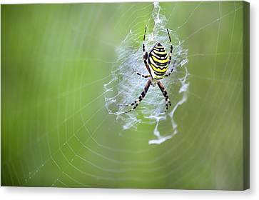 Female Wasp Spider Canvas Print