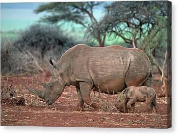 Female White Rhino With Calf Canvas Print by Tony Camacho