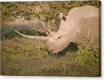 Female White Rhinoceros Grazing Canvas Print
