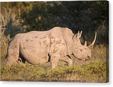 Female White Rhinoceros Canvas Print
