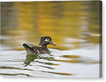 Female Wood Duck Canvas Print by Tom Spencer
