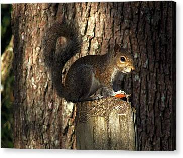 Canvas Print featuring the photograph Fence Post Squirrel  by Chris Mercer