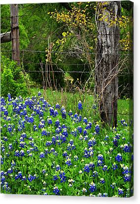 Fenced In Bluebonnets Canvas Print by David and Carol Kelly