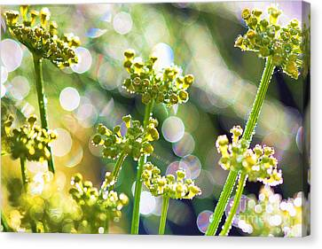 Fennel Morning Dew Canvas Print