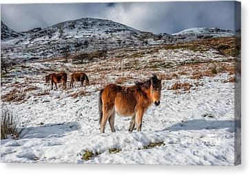 Feral Canvas Print - Feral Horse by Adrian Evans