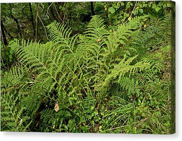 Fern (dryopteris Aemula) Canvas Print by Bob Gibbons