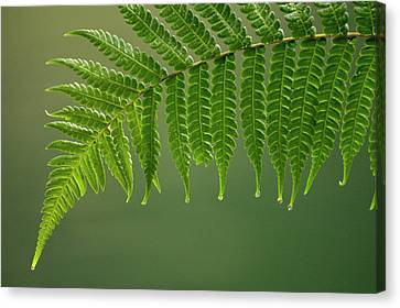 Fern Frond With Drip Tips Canvas Print by Pete Oxford