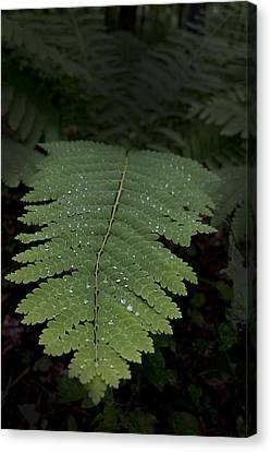 Fern In The Dark Canvas Print