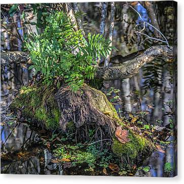 Fern In The Swamp Canvas Print