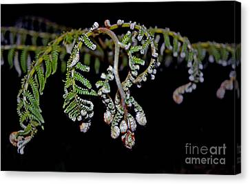 Fern Opening Up Canvas Print by Jim Fitzpatrick