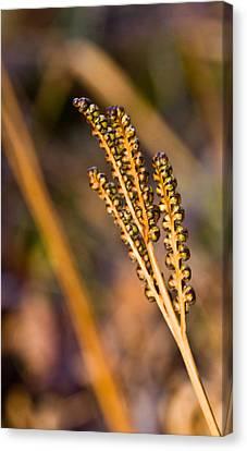 Fern Spore Stalk In Morning 3 Canvas Print