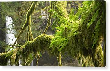 Ferns And Moss Growing On A Tree Limb Canvas Print