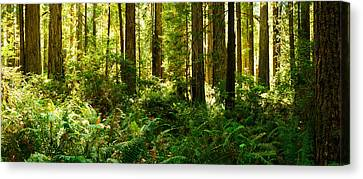 Ferns And Redwood Trees In A Forest Canvas Print by Panoramic Images