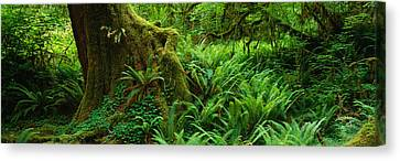 Ferns And Vines Along A Tree With Moss Canvas Print by Panoramic Images