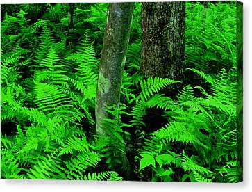 Ferns Canvas Print by Rodney Lee Williams