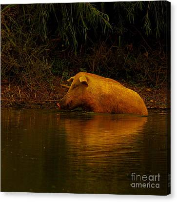 Ferrell Hog At Sunrise Canvas Print by Robert Frederick