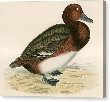 Ferruginous Duck Canvas Print by Beverley R Morris