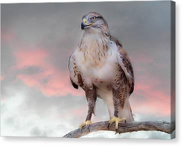 Ferruginous Hawk At Dusk Canvas Print by Barbara Manis