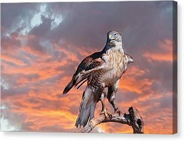 Ferruginous Hawk Canvas Print by Barbara Manis