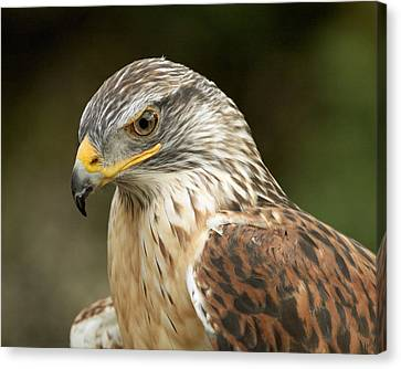 Canvas Print featuring the photograph Ferruginous Hawk by Doug Herr