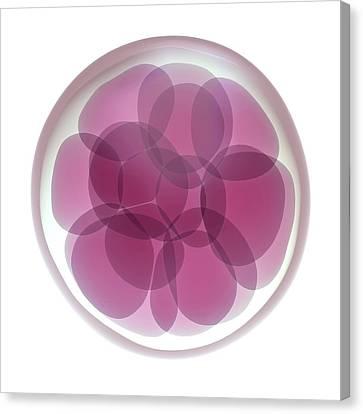 Fertilised Egg Cell Dividing Canvas Print