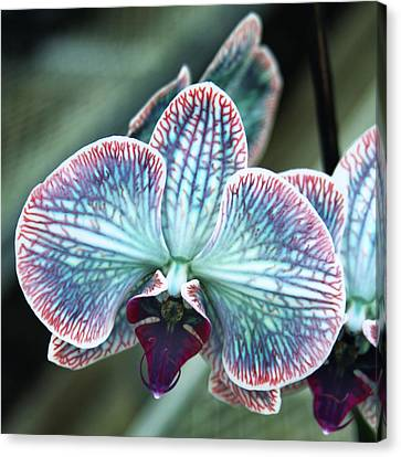 Festive Orchid Canvas Print