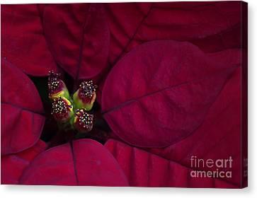 Festive Red Canvas Print by Jacky Parker