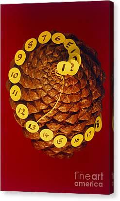 Fibonacci Numbers In A Pinecone Canvas Print by Adam Hart Davis SPL