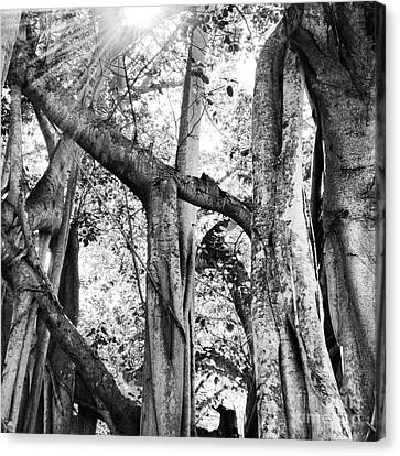 Ficus Altissima In Black And White Canvas Print by K Simmons Luna