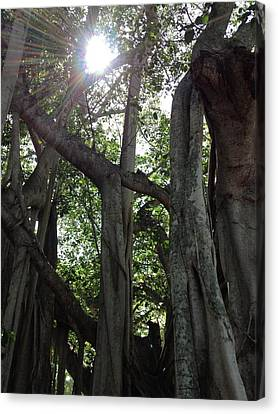 Ficus Altissima Canvas Print by K Simmons Luna