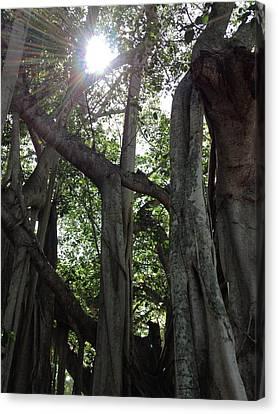 Ficus Altissima Canvas Print