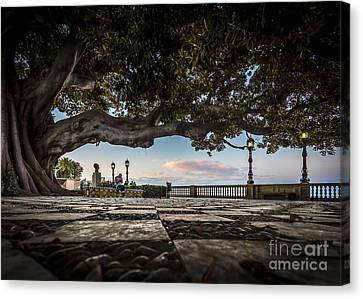 Ficus Magnonioide In The Alameda De Apodaca Cadiz Spain Canvas Print