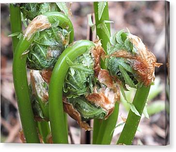 Fiddleheads In Spring Canvas Print